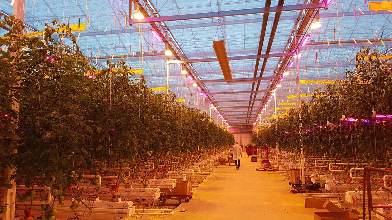Тепличные светодиодные светильники для растений можно купить в Элреди. Наши инженеры точно подберут подходящий спектр света и рассчитают мощность и количество фитосветильников. Звоните нам!