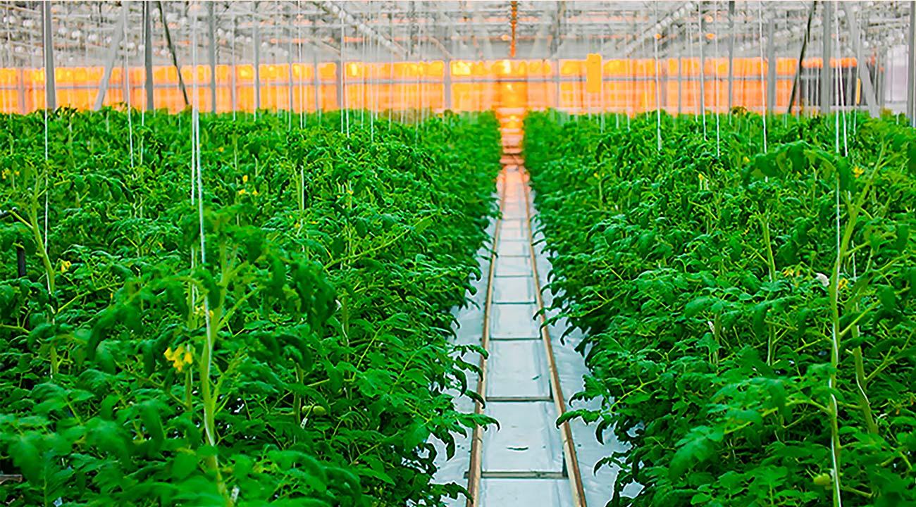 Тепличные светодиодные светильники для растений AtomSvet BIO позволят сэкономить более 50% электроэнергии и повысят урожайность